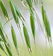 wild-oat-mpefb